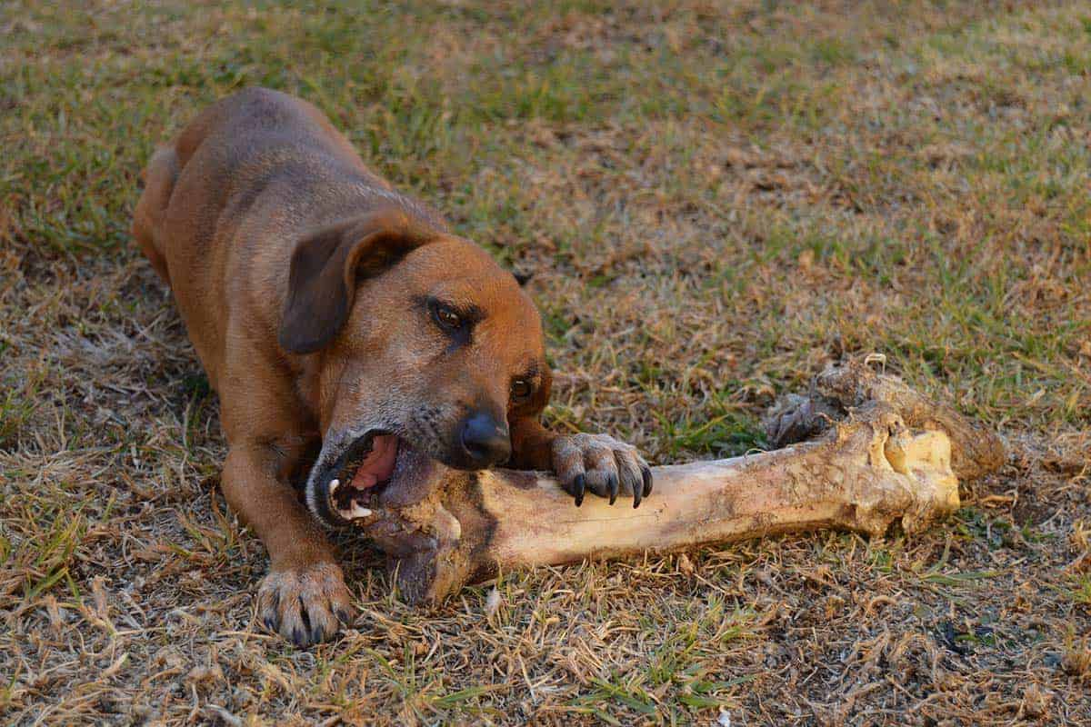 Can Dogs Have Steak Bones